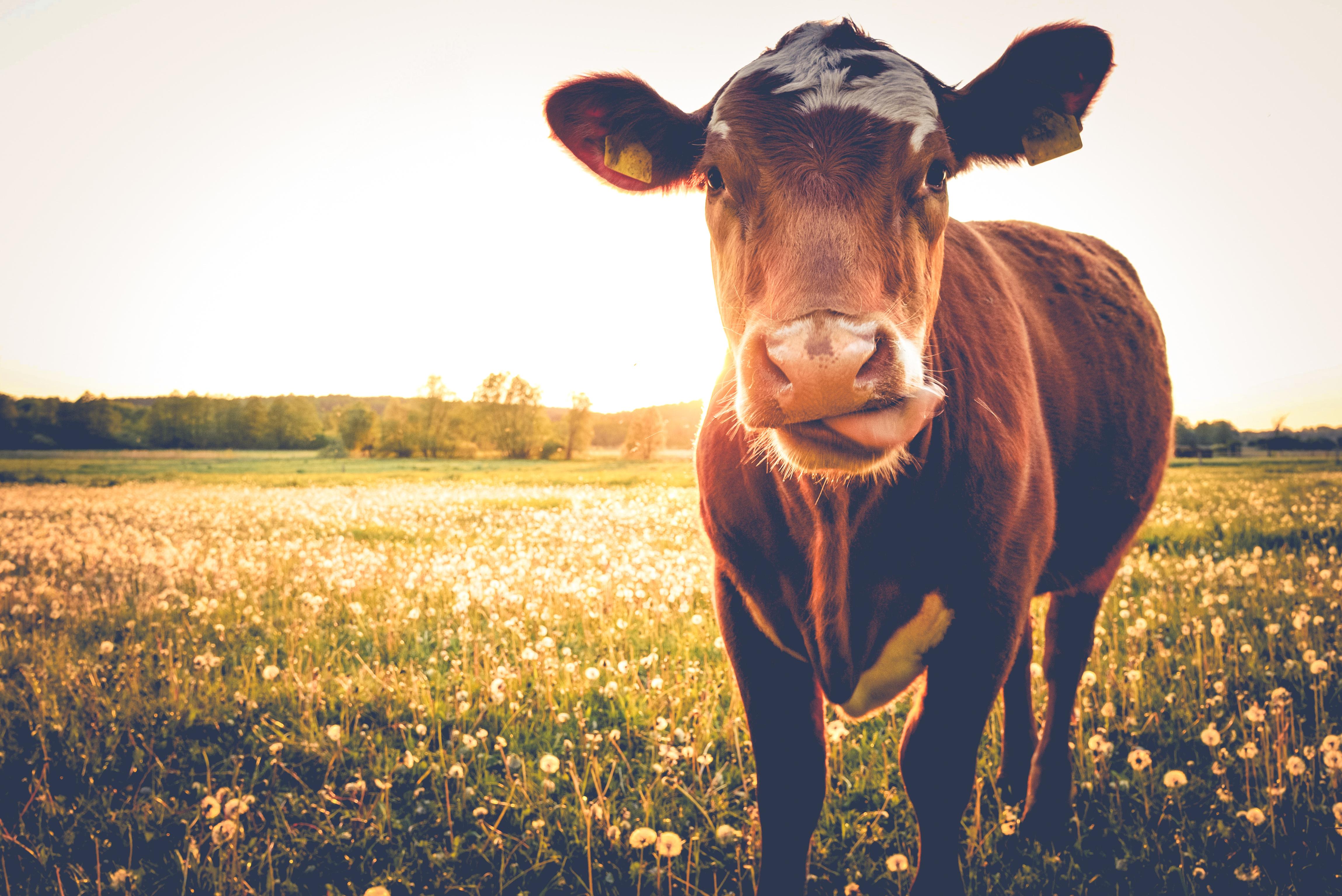 Einzelne Kuh auf Butterblumenwiese in der Abendsonne